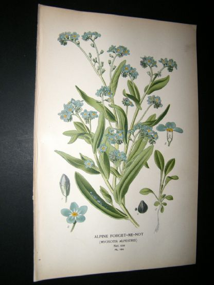 Step 1897 Antique Botanical Print. Alpine Forget-Me-Not | Albion Prints